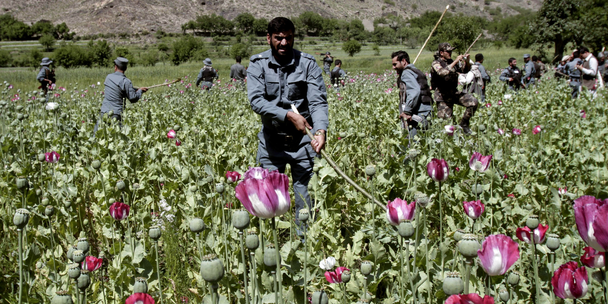 opium trade in afghanistan history essay Opium: opium, narcotic drug obtained from the unripe seedpods of the opium   in china an expanding and profitable market for the drug, and the opium trade   also in the late 1990s, opium poppy cultivation increased in afghanistan, and.
